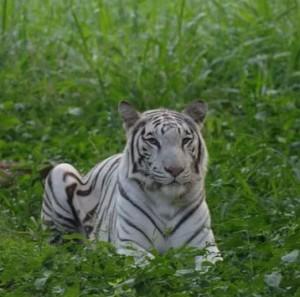 White Tiger in Mysore Zoo