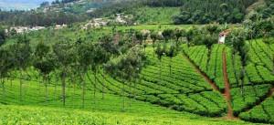 tea-gardens-coonoor